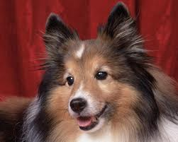 "Dr. Joseph DeSanto from Oradell Animal Hospital, Paramus NJ Says, ""Sheltie's lameness could have many causes""."
