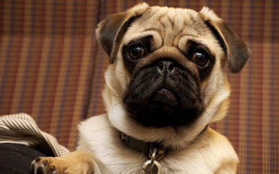 Eye Problems Of The Brachycephalic Breed
